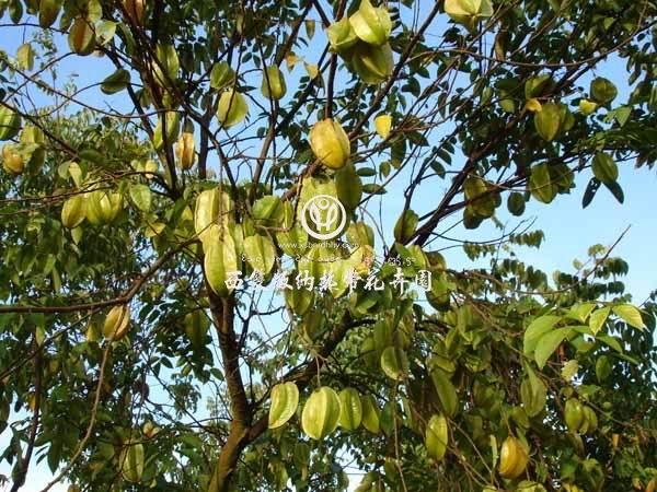 的有甜阳桃和酸阳桃两种,是著名的岭南佳果之一.   古梵语称